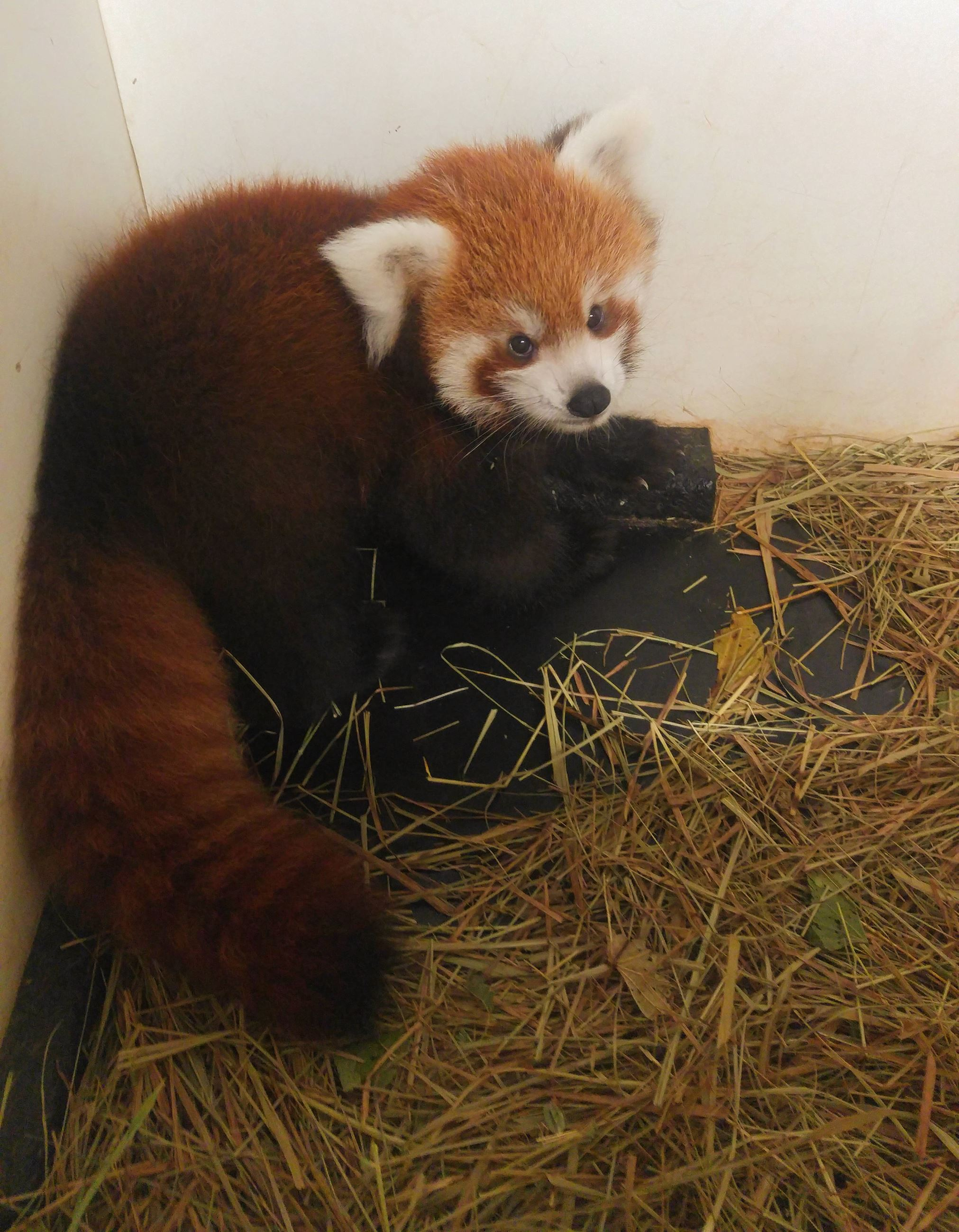 Sunset Zoo Red Panda Cub